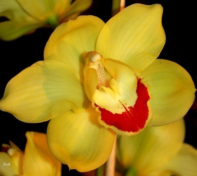 Żółta orchidea