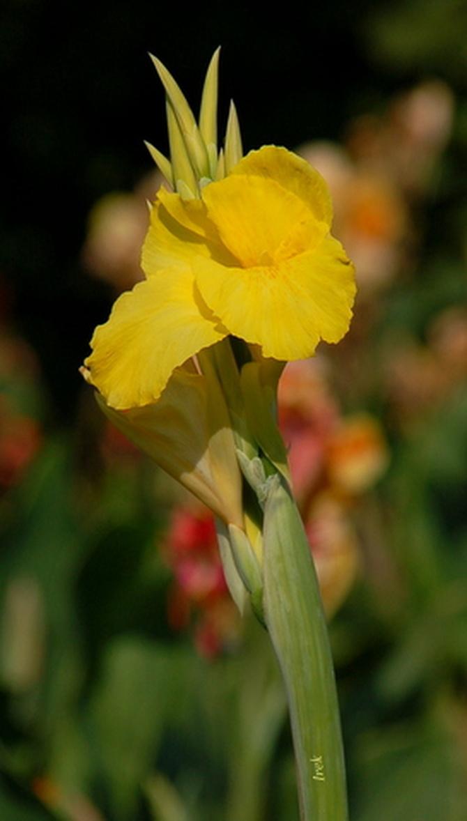 Żółty paciorecznik