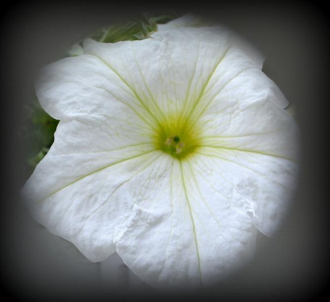 P - petunia biała