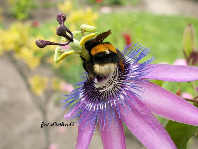 Passiflora i trzmiel