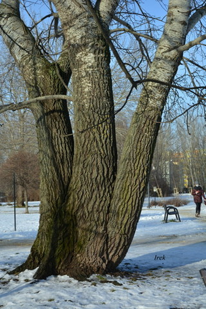 Potrójne drzewo w parku