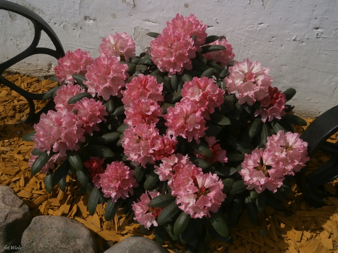 R-jak rododendron