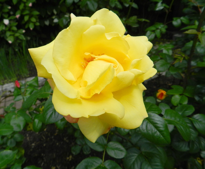 Róża .......