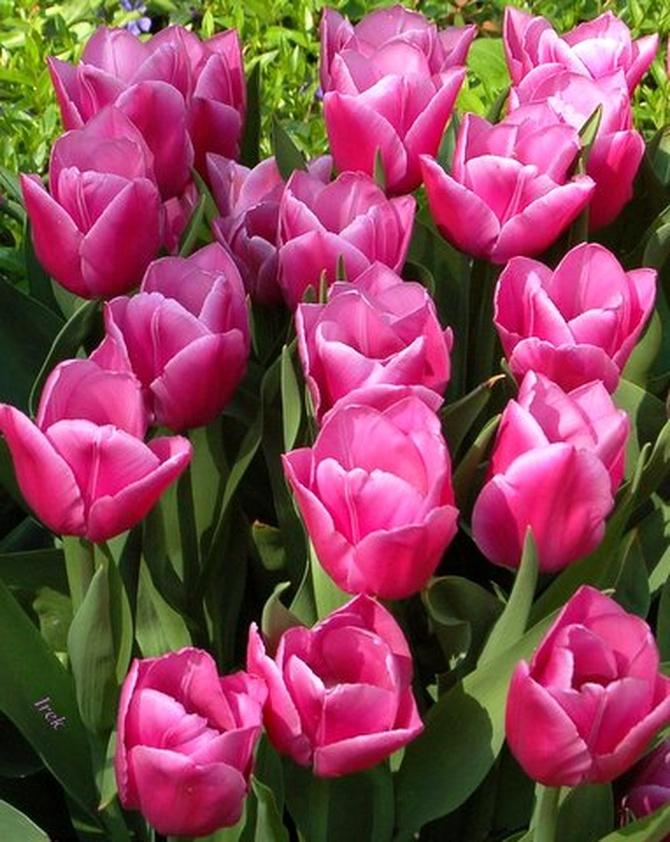 różowe tulipany