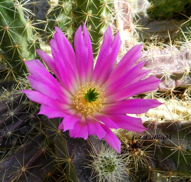 Różowy kwiat kaktusa