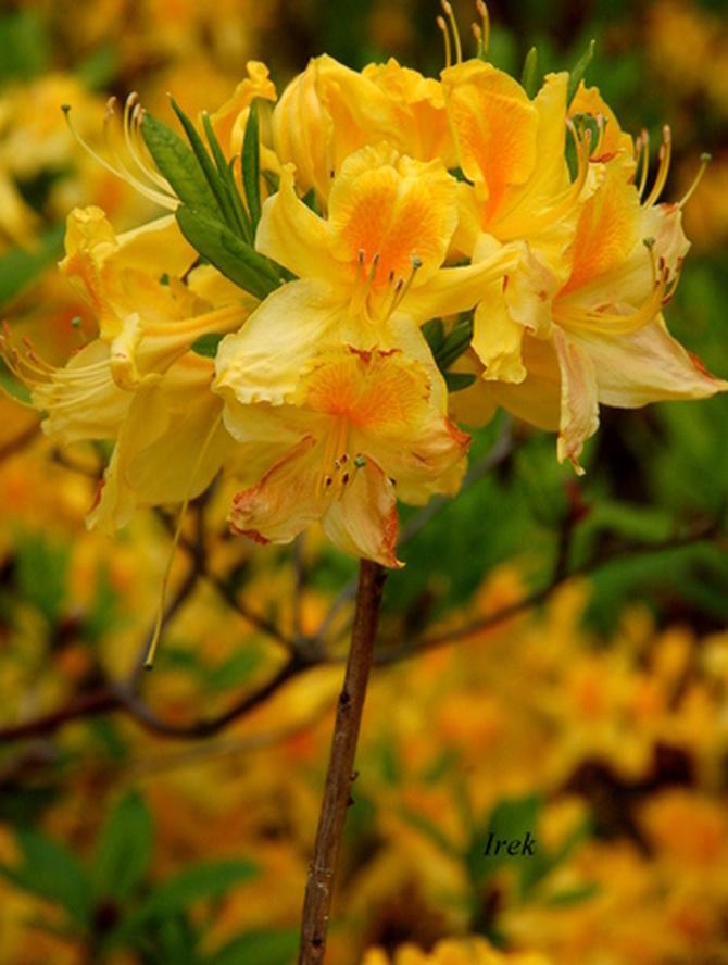 rododendron, azalia