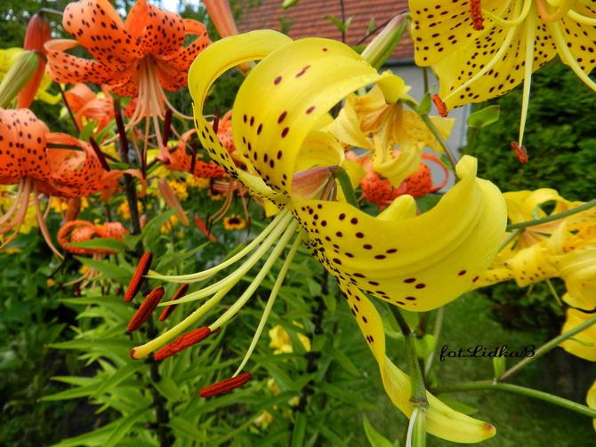 Słoneczna lilia tygrysia
