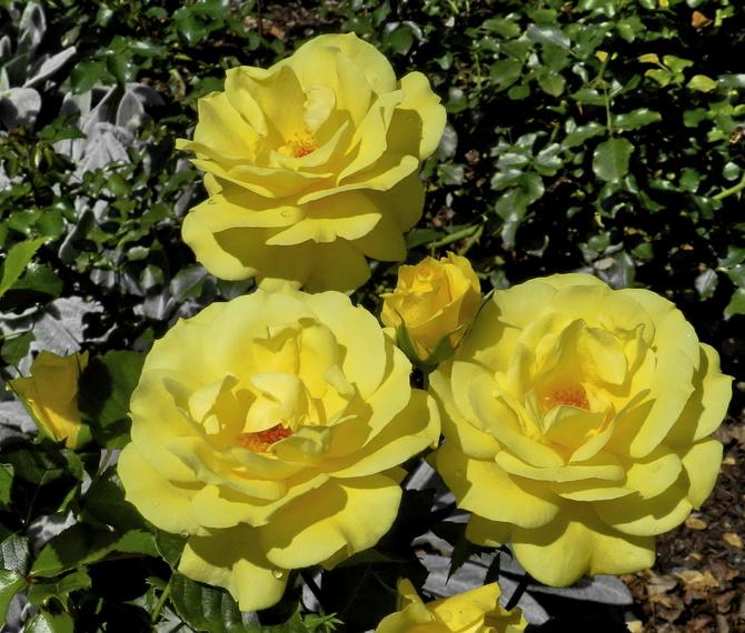 Słoneczne róże