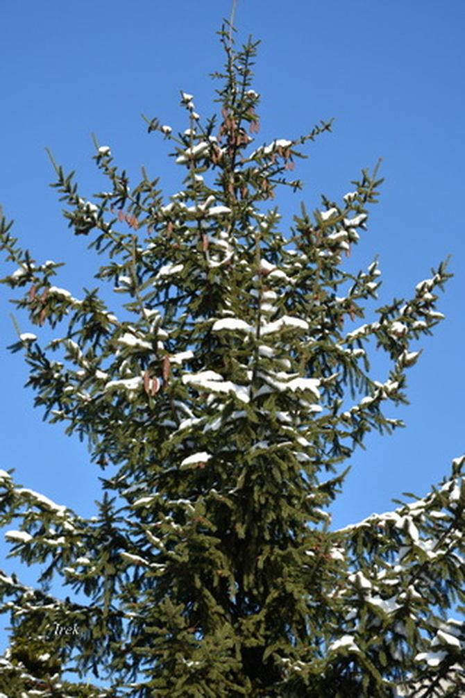 Szyszki na drzewie i śnieg na tle nieba
