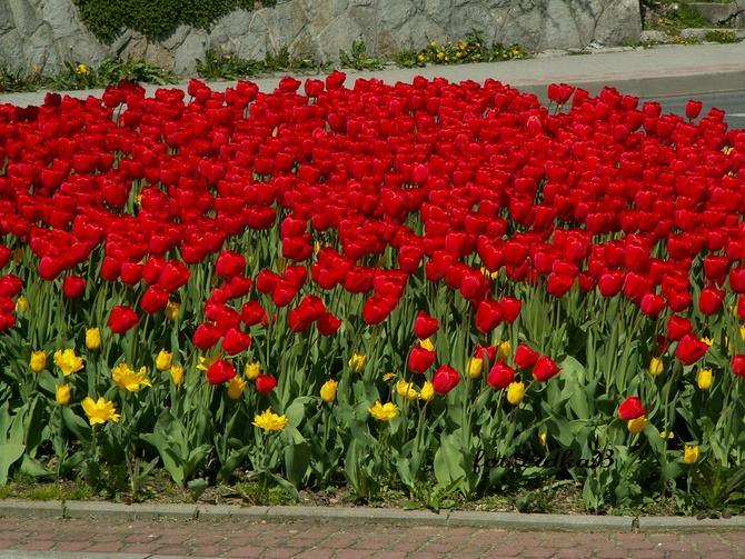 T - Tulipany czerwone