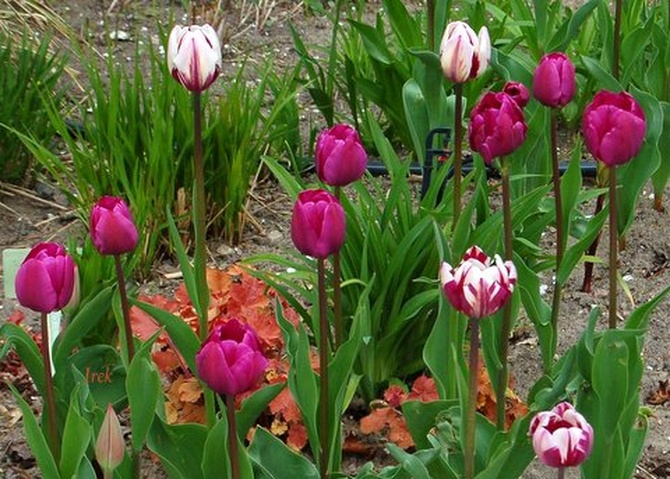 T - tulipany różne