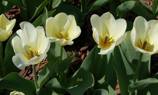 T - tulipany