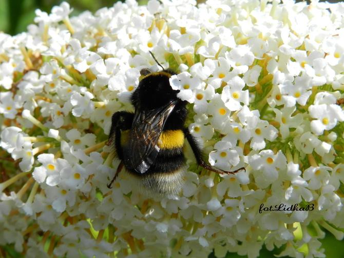 Trzmiel szuka nektaru
