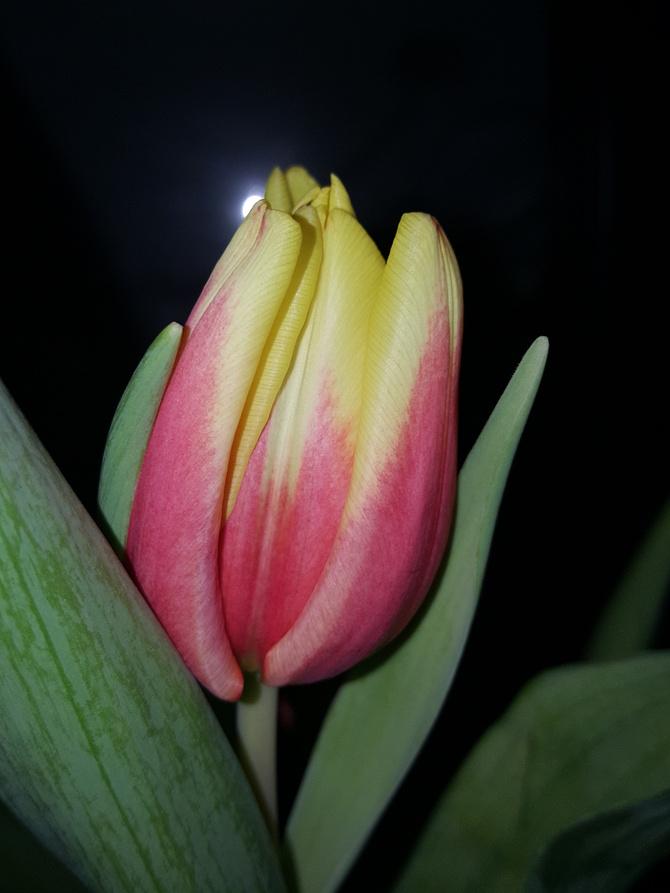 Tulip Babci....