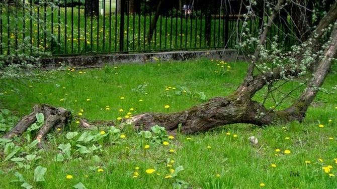 U - upadłe drzewo w parku
