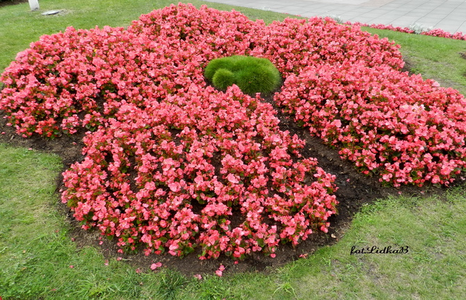 Ukośnica-Begonia stale kwitnąca