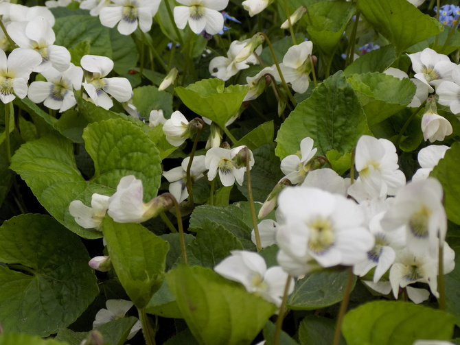 Viola cornuta  (Fiołek rogaty)