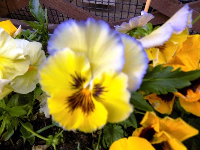 Viola ssp. :)