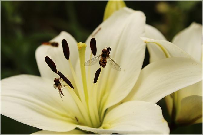 Wielbiciele lilii...