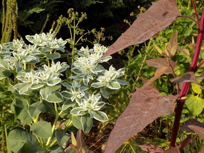 Wilczomlecz białobrzegi - Euphorbia marginata