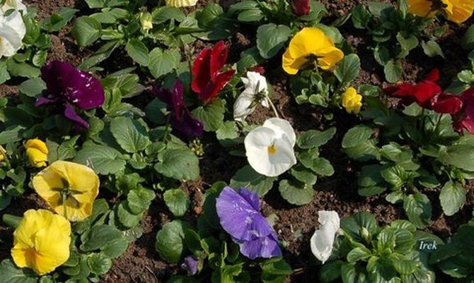 Wiosenne kwiatki bratki