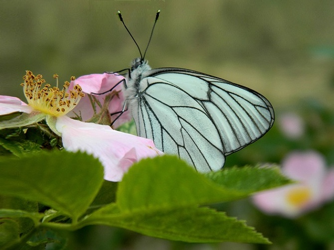 Zapach dzikiej róży :)