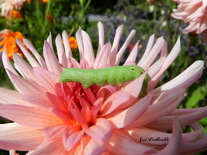 Zielona gąsienica