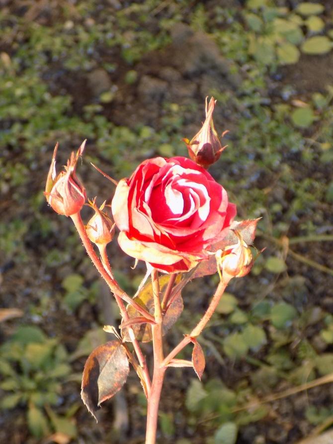 Zimowa róża :)