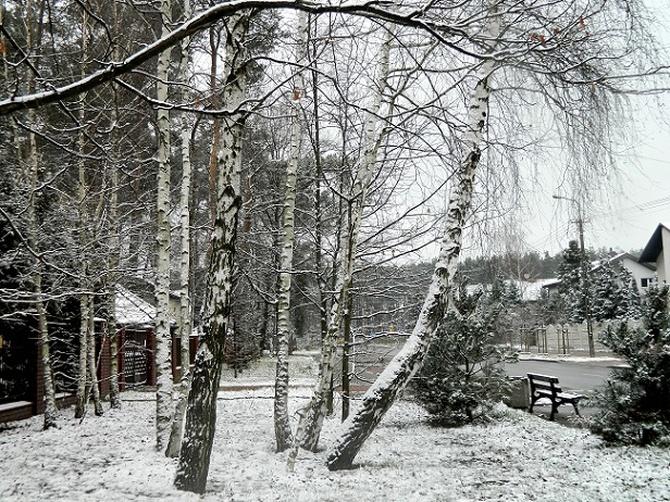 Zimowe brzozy:)