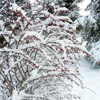 Berberys ,zimowy widoczek