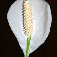 Biały kwiat, skrzydłokwiat