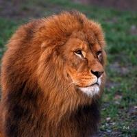 Elegancki król zwierząt prosto od fryzjera