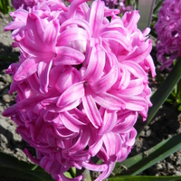 Hiacynt w różowym kolorze