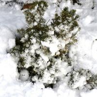 Krzew przykryty śniegiem.