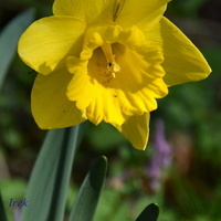 Narcyz żółty