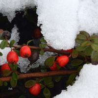 Ś - śnieg przykrył krzew