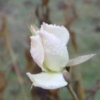Nowy rok witam różami...
