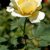 żółta róża, trochę biała