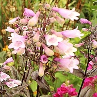Penstemon...