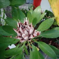 Protea królewska srebrnikowata .