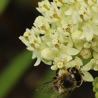 Pszczółka na trojeści...