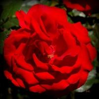 R - róża czerwona, kwiatostan