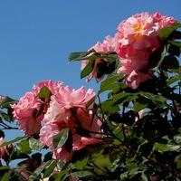 R - róża, krzew wysoki