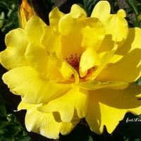 R- Róża rabatowa żółta