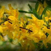 R - rododendron, azalia pontyjska