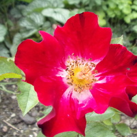 róża hanabi.