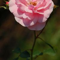 róża w różowym kolorze.