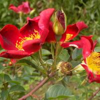 Róża z nasionka- córka