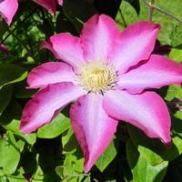 Różowy powojnik