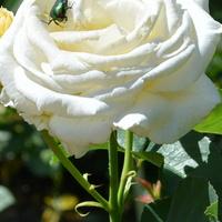 róży też trafił się gość